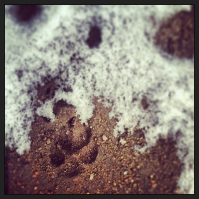 The wolf tracks we found around our campsite. (Photo by Ivan Flores)